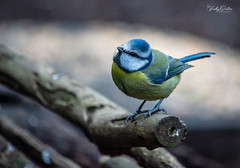 Blue tit. (vickyouten) Tags: bluetit wildlife wildlifephotography britishwildlife nature naturelovers naturephotography nikon nikond7200 nikonphotography nikkor55300mm penningtonflash leigh uk vickyouten