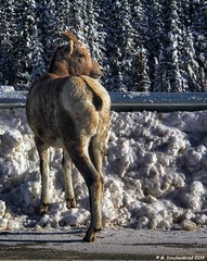 Awww come on leave so I can get back to licking salt off the pavement (PhotosToArtByMike) Tags: icefieldsparkway bighornsheep sheep banffnationalpark canadianrockies banff albertacanada mountain mountains alberta s