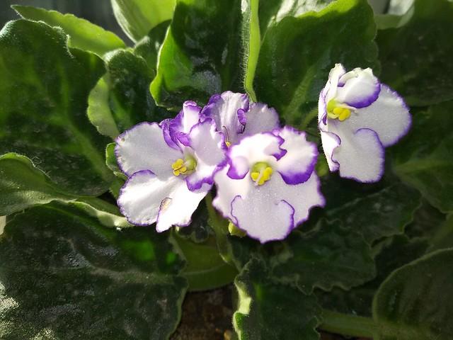 Обои Цветочки, Flowers, Фиалки картинки на рабочий стол, раздел цветы - скачать