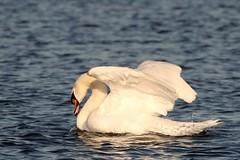IMG_2485 (LezFoto) Tags: swan mute cygnusolor loirstonloch aberdeen scotland unitedkingdom canoneos700d sigma 700d canon 120400mmf4556dgapooshsm digitalslr dslr canonphotography sigmalens