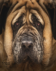 Picture of the Day (Keshet Kennels & Rescue) Tags: adoption dog ottawa ontario canada keshet large breed dogs animal animals pet pets field nature photography winter snow english mastiff