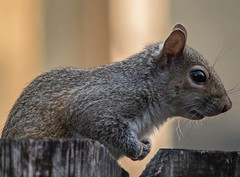 Just Passing By (ACEZandEIGHTZ) Tags: nikon d3200 squirrel woodenfence portrait easterngrey sciuruscarolinensis bokeh coth alittlebeauty coth5 sunrays5