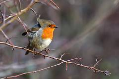 Ruffled feathers (Treflyn) Tags: ruffled feathers wild wildlife bird robin contend wind marham norfolk