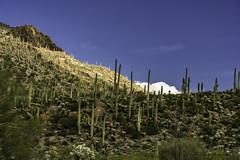 Saguaro density, Tucson Arizona (TAC.Photography) Tags: saguaro desert wilderness tucson arizona arizonapassages 2019yip tucsonmountainpark