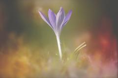 Crocus Meadow... (KissThePixel) Tags: crocus purple purpleflower flower flora winter winterflora bokeh bokehlicious macro macromonday closeup makro beautiful meadow longacremanor nikon 70200mm sigma70200mm 28 f28