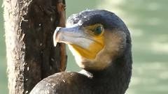 Phalacrocorax carbo - Grand cormoran (FR) - Great cormorant (UK) - Cormorán grande (ES) - Corvo-marinho-de-faces-brancas (PT) - Marangone (IT) - Aalscholver (NL) - Kormoran (DE) - Skarv (DK) - Storskarv (NO) - merimetso (FI) - kormorán velký (CZ) (Patrick Verhaeghe) Tags: velký kormorán merimetso storskarv skarv kormoran aalscholver marangone corvomarinhodefacesbrancas grande cormorán cormorant great cormoran grand carbo phalacrocora