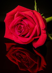 Fading Valentine's Day Red Rose (melmark44) Tags: redrose rose reflection blackacrylic black onblack macro macrophotography desktop tabletop videolight led diffuser canoneos5dmarkiv canon dslr longexposure fullframe fullframesensor valentine valentinesday love closeup softlight diffusedlight umbrella shootthroughumbrella continuouslight artificiallight texture sidelight