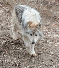 G08A5313.jpg (Mark Dumont) Tags: wolf mammal zoo mark dumont mexican cincinnati