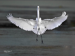 Great Egret in almost Black and White (MyKeyC) Tags: greategret monotoned landing wingsspread water flying