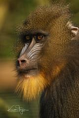 Mandrill (yadrad) Tags: monkey mandrill ape zoo paigntonzoo torbay