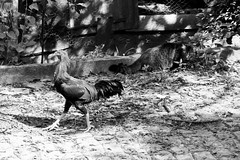 Hunting (tatiana barthem) Tags: galo galinha ave frango chicken gato cat blackandwhite blackwhite bw monochrome tonsdecinza monocromatico grey animal felino hunting nature portrait picture shot moment photoart