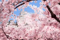Hanami - Himeji-jo (Bodow) Tags: pentax ricoh kr kmount himeji castle château sigma1750mmf28dcexhsm hanami prunus kanzan cherrytree sakura spring cherryblossom