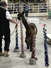 An alpaca competing in the obstacle course (f l a m i n g o) Tags: alpaca show competition obstaclecourse