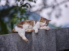 GFX50S__DSF2403_C1 (Bazoka+Cynthia) Tags: cat 小婆 新北市 猴硐 瑞芳區 貓