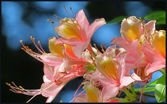 IMG_5933 Azalea Sky 6-12-18 (arkansas traveler) Tags: flowers azaleas bokeh bokehlicious nature naturewatcher natureartphotography zoom telephoto