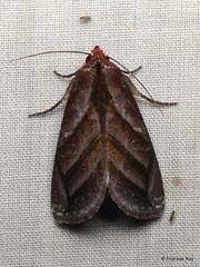 Moth, Hemicephalis paulina, Catocalinae, Erebidae (Ecuador Megadiverso) Tags: andreaskay catocalinae catocalini ecuador erebidae hemicephalispaulina idbydominikhofer id568 moth wildsumaco