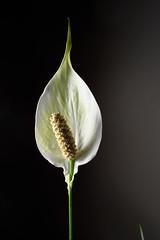 Peace lily (aliffc3) Tags: peacelily flower mesaieed qatar nikond750 zeiss35f2distagon
