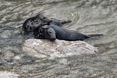 Playing in the waves (Gill Stafford) Tags: gillstafford gillys image photograph wales northwales conwy little orme penrhynbay rhosonsea seal greyatlantic wild colony angelbay mammal