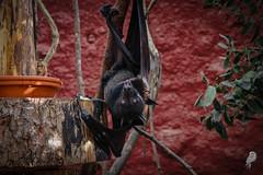 7-Bat (lagraviere.aurelie) Tags: bat chauvesouris pairidaiza animals