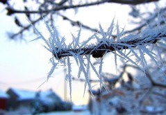 Needle Frost (C-Aida) Tags: frost nature macro weather cold winter earth zen flickrology