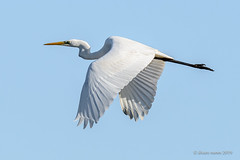 Garça-branca-grande | Great egret | Egretta alba (Álvaro Nunes) Tags: garçabrancagrande greategret egrettaalba