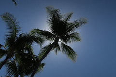 sun palm (BarryFackler) Tags: kahaluubeachpark kailuakona hawaii bigisland hawaiiisland northkona beach shore hawaiicounty sandwichislands hawaiianislands 2019 paradise island tropical outdoor beachpark polynesia palmtree plant fronds trees palmtrees palms sky sun sunlight kona westhawaii barryfackler barronfackler