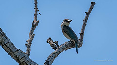 Kingfisher Sacred... (Beckett_1066) Tags: dam birds hawkesbury kingfisher tree water sacredkingfisher