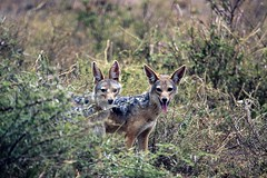 Black-backed jackals at Ndutu in the Ngorongoro Conservation Area in Tanzania (inyathi) Tags: eastafrica tanzania africananimals blackbackedjackal canismesomelas jackals wilddogs canines ngorongoroconservationarea ndutu nca africanwildlife nationalpark africa