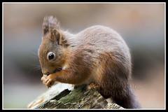 IMG_0115 Red Squirrel (Scotchjohnnie) Tags: redsquirrel sciurusvulgaris squirrel squirrelphotography mammal rodent wildanimal wildlife wildlifephotography wildandfree nature naturephotography canon canoneos canon7dmkii canonef70200mmf28lisiiusm scotchjohnnie closeup