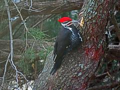 IMG_2077-1 (lbj.birds) Tags: kansas nature flinthills wildlife bird woodpecker pileatedwoodpecker