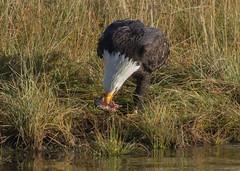 Bald Eagles (nickinthegarden) Tags: americanbaldeagle baldeagle eagle harrisonriver harrisonmillsbccanada