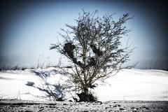 where they grow the plastic fruit (Redheadwondering) Tags: minolta100200mm sonyα7ii salisburyplain wiltshire winter snow snowday landscape trees 119picturesin2019 39environmentaltrash 39 trash rubbish plastic
