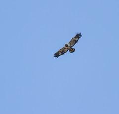 Golden Eagle Above (John Kocijanski) Tags: eagle goldeneagle immaturegoldeneagle bird birdofprey animal nature canon400mmf56 canon7d wildlife