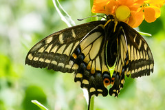 Anise Swallowtail Caught by Crab Spider (Laurie Paulik) Tags: aniseswallowtails butterflies crabspiders swallowtails