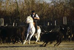 _DSC0639 (chris30300) Tags: camargue cheval