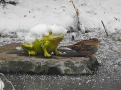Spätzchen auf der Insel (Sophia-Fatima) Tags: pond gartenteich wassergarten mygarden meingarten naturgarten gardening haussperling spatz frosch
