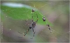 Golden Orb Spider (kerbside) Tags: spider goldenorbspider australianspiders