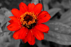 IMG_5617a (Talisman Pickering) Tags: flower selectivecolor colorsplash red