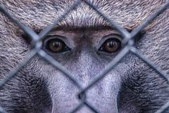 Zoo (KWPashuk (Thanks for >3M views)) Tags: nikon d200 tamron tamron150600mm lightroom luminar luminar2018 luminar3 kwpashuk kevinpashuk baboon ape primate animal portrait killman zoo caledon ontario canada wildlife nature