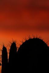 Sunset 2 16 19 #35 (Az Skies Photography) Tags: rio rico arizona az riorico rioricoaz canon eos 80d canoneos80d eos80d canon80d cloud clouds red orange yellow gold golden salmon black february 2019 sky skyline skyscape arizonasky arizonaskyline arizonaskyscape sun set sunset dusk twilight nightfall arizonasunset 16 february162019 21619 2162019 silhouette cactus prickly pear pricklypear pricklypearcactus cactussilhouette