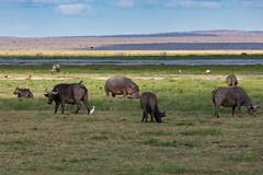 Hippo - And Friends (Jill Clardy) Tags: africa kenya vantagetravel safari 201902179l8a6627 amboseli national park hippo hippopotamus cape buffalo wildebeest elephant