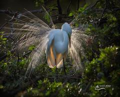 Great White Egret display (Chris St. Michael) Tags: bird egret greatwhiteegret naturephotography nature wildlife wildlifephotography