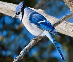 Home Tweet Home (Meryl Raddatz) Tags: bird bluejay blue nature naturephotography canada