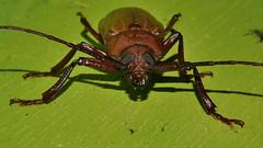 Mandalay Longicorn beetle Agrianome sp aff spinicollis Prioninae Cerambycidae Airlie Beach rainforest P1470212 (Steve & Alison1) Tags: mandalay longicorn beetle agrianome sp aff spinicollis prioninae cerambycidae airlie beach rainforest