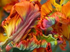 Dancing Tulip SOOC (bjg_snaps) Tags: tulip rainbow colors springhassprung kukenhof gardens