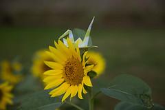 Paper Crane and Sunflower (Errai 21) Tags: ツルとヒマワリ origami ツル 折り紙 折り鶴 おりがみ papercrane 花 flower 花写真  origami flowerphoto origamiphoto 花が好き sunflower ヒマワ  paper crane