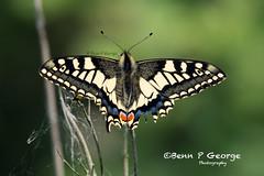 SWALLOWTAIL-BUTTERFLY-27-5-18-RSPB-STRUMPSHAW-FEN-(1) (Benn P George Photography) Tags: rspbstrumpshawfen 27518 bennpgeorgephotography rspb drinkermoth caterpillar goldenbloomgreylonghornbeetle beetle swallowtailbutterfly butterfly nature insects nikond7100 nikon d7100 nikon200500