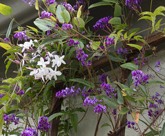 20190327 Purple and White (Dolores.G) Tags: 365the2019edition 3652019 day86365 27mar19 week13themepurple