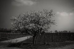 Spring in Black&White (tucsontec) Tags: monochrome trees trekking baum rheinlandpfalz wandern blackwhite schwarzweis nature natur naturepics