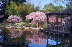 Hanami in Saratoga (PeterThoeny) Tags: saratoga california usa siliconvalley sanfranciscobay sanfranciscobayarea southbay hakonegardens japanesegarden garden park cherryblossom blossom hanami reflection water day outdoor sony a7 a7ii a7mii alpha7mii ilce7m2 fullframe vintagelens dreamlens canon50mmf095 canon 2xp raw photomatix hdr qualityhdr qualityhdrphotography fav100